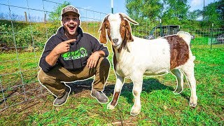 I Bought a GIANT GOAT for My BACKYARD FARM!!!