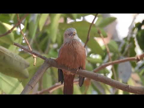 Humming in different tunes :- Video of Chestnust tailed starling calling