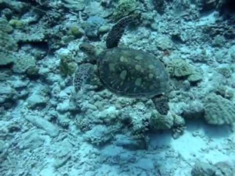 アオウミガメGreen sea turtle 沖縄WAVE
