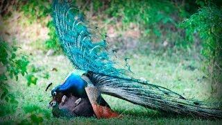 Glamorous Indian Peacock | Pavo Real Glamuroso
