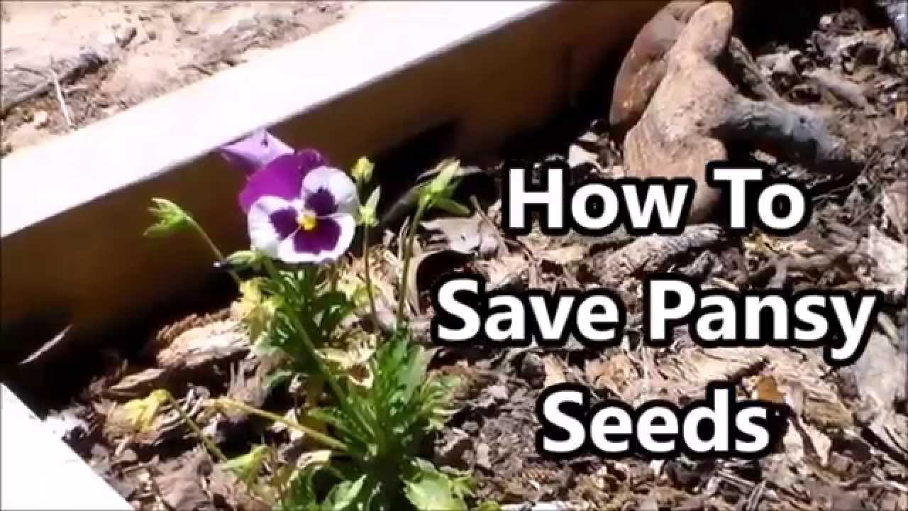 save pansy seeds youtube