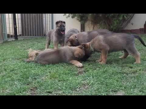 German Shepherd Malinois Mix Pups