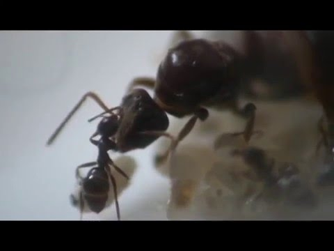 The World Of Ants Growth A Lasius Niger Colony