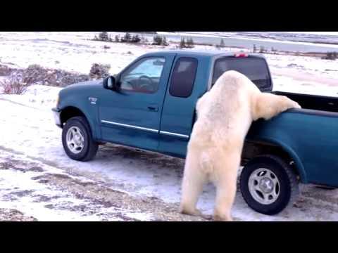 The Polar Bear Suitcase Thief