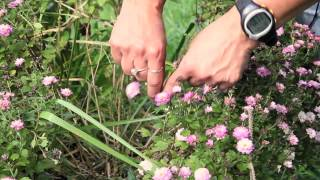 How to Trim Mum Plants for More Roundness : Gardening With Mums