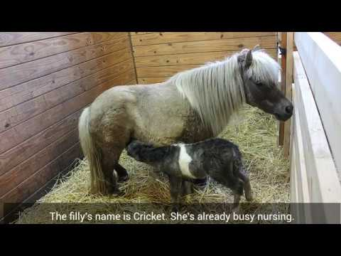 Miniature Horse Gives Birth To Filly