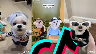 The Sweetest Maltese TikTok Compilation | Dogs Of TikTok