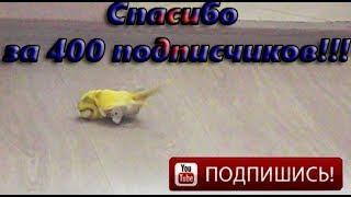 Попугай насилует резиновую игрушку!!! Смешной попугай # 18+ # 400 подписчиков! Ура!