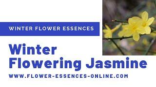 Winter Essences - Winter Flowering Jasmine