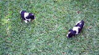Teacup And Toy Schnauzer Litter Outside On Grass For The First Time