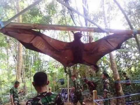 Vampire? Captured a Giant Bat in Peru Monstrous monster Bats Chiroptera WWW.GOODNEWS.WS