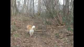 かい(北海道犬)は、私の前を歩くとき、振り向き振り向き私が着いて来...