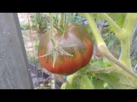 Beautiful And Sweet Dwarf Purple Heart Tomato