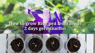 Gambar cover 2 days Fast Seed Germination [Blue Ternate]