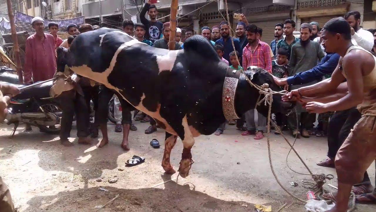 Bull Qurbani Video Eid 3rd day Eid ul adha 2021 BULL VIDEO  EID UL AZHA 2021 Bakra eid 2021