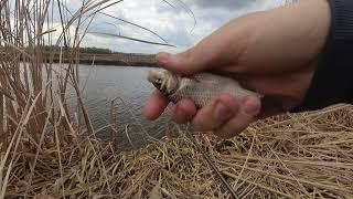 Карась не даёт присесть Рыбалка на карася на оросительных каналах