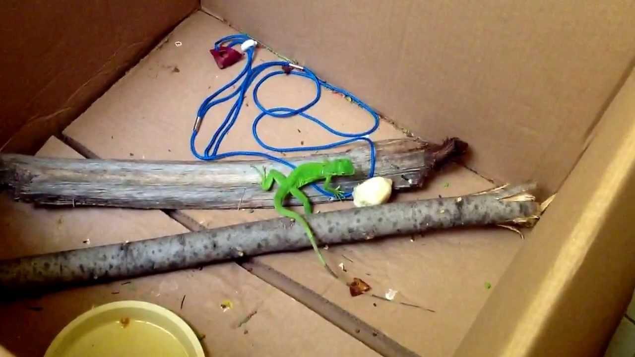 Iguana bebe comiendo youtube - Como construir un terrario ...