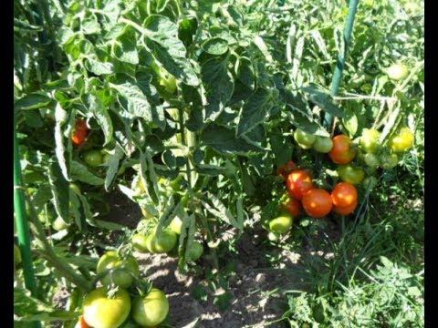 Томаты под временным укрытием. Никола: урожайные и вкусные томаты.