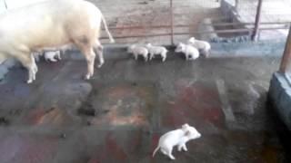 Pig farm UP 8193088864