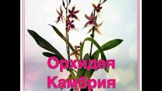 орхидея Камбрия(Все об орхидея Камбрия - уход, освещение, пересадка, полив... Так же смотрите мои видео об орхидеях : Орхиде..., 2015-07-25T15:56:34.000Z)
