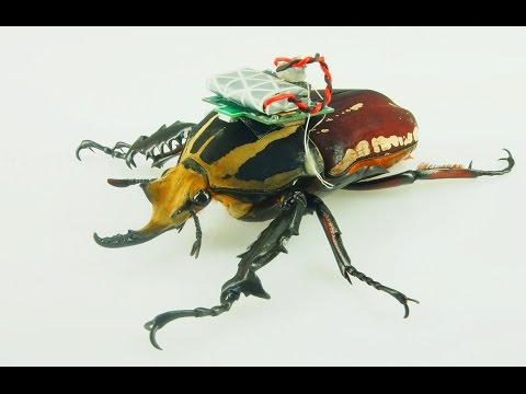 Remote-controlled beetle - Nanyang Technological University Singapore