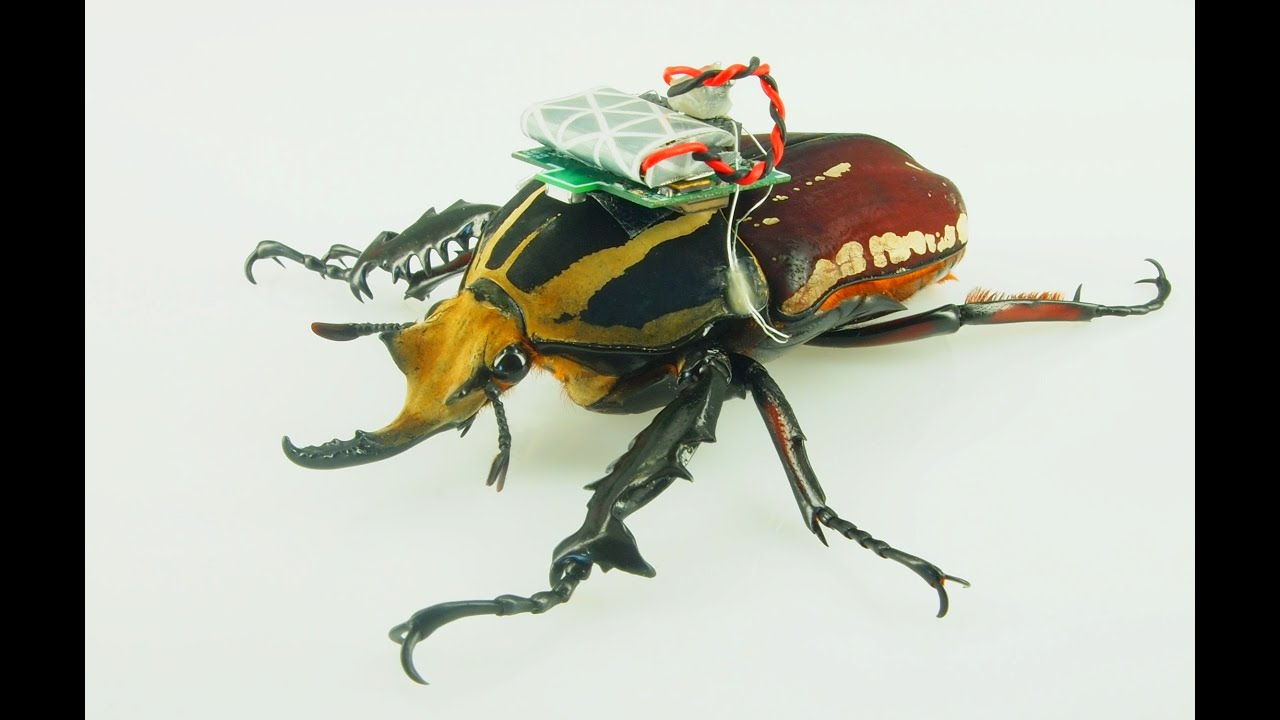 cyborg beetle research allows free flight study of insects berkeley news [ 1280 x 720 Pixel ]