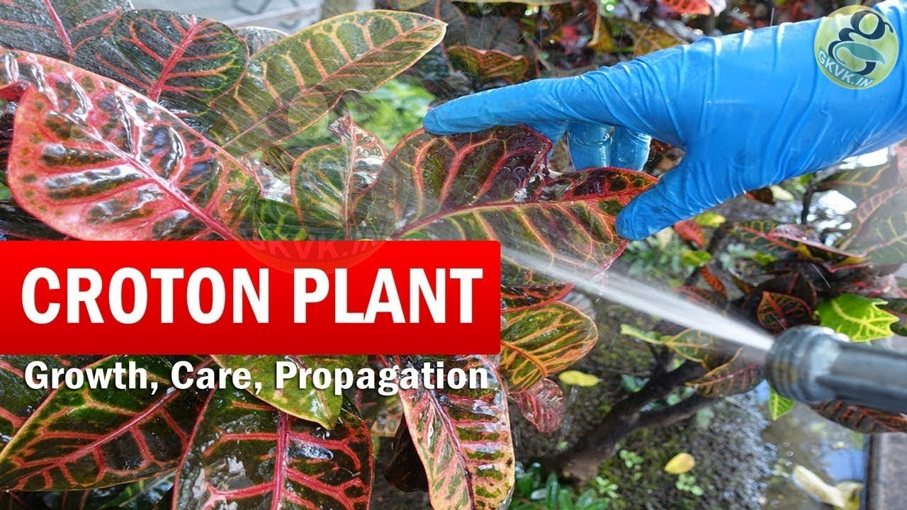 How To Grow Croton Plant Croton Plant Care Codiaeum Variegatum