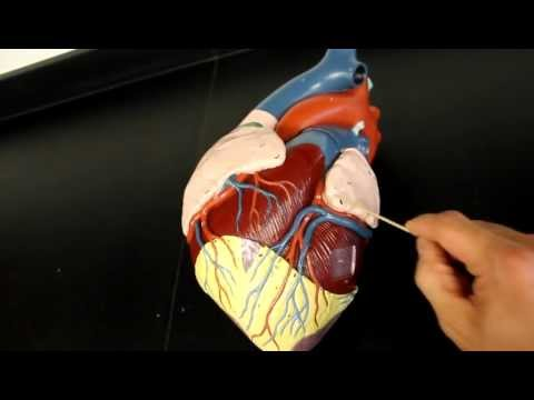 CIRCULATORY SYSTEM ANATOMY: Coronary circulation arteries and cardiac veins vessel model description