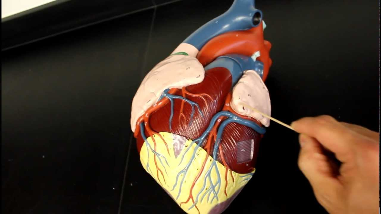 CIRCULATORY SYSTEM ANATOMY: Coronary circulation arteries and ...