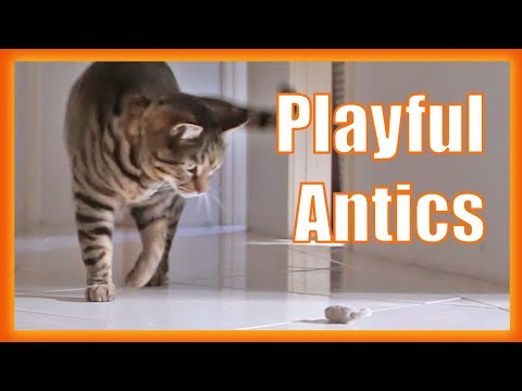 Cutest Tabby Cat Playing. Crazy Cat Antics.