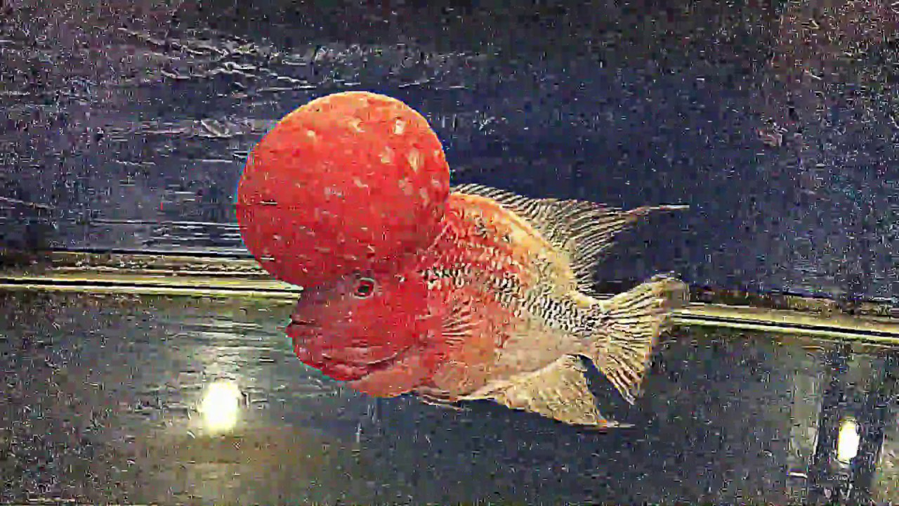 Color Fading Flowerhorn ( continuation treatment) - YouTube