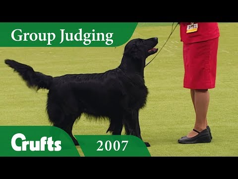 Flat Coated Retriever wins Gundog Group Judging at Crufts 2007