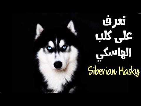معلومات هامة عن كلاب الهاسكي السيبيرية || Siberian Husky