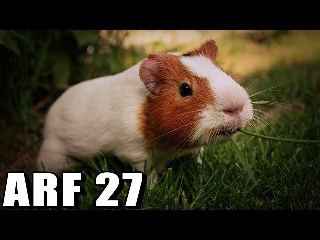 ?? guinea pig Switzerland ??? ????? ????? ??    Race 3 Reaction    ARF 27
