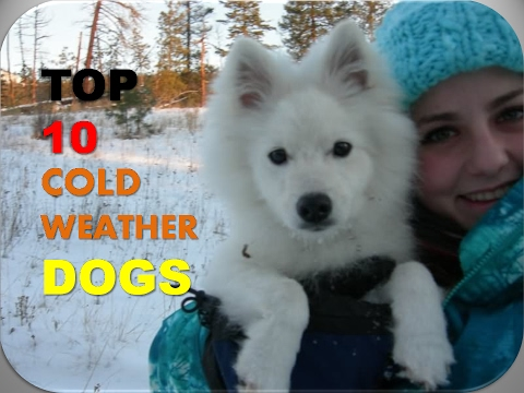 TOP 10 BEST DOG BREEDS FOR COLD WEATHER