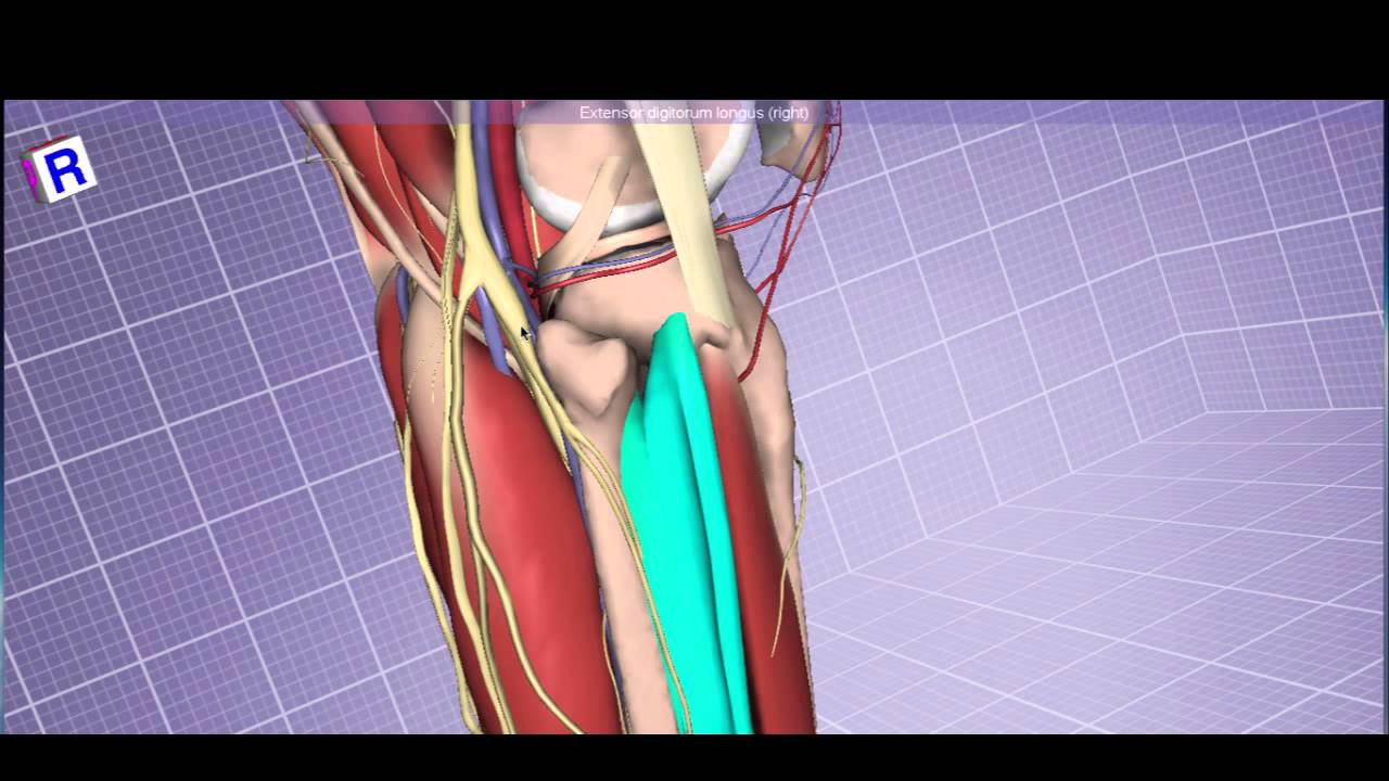 Leg Anatomy: Arteries, Muscles, and Nerves - YouTube
