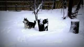 Alaskan Malamutes After A Snow Storm