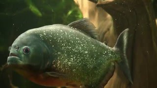 ПИРАНЬИ В АКВАРИУМЕ | Piranhas in the aquarium