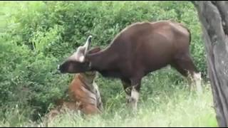 Prince the lovely big cat attacking a gaur