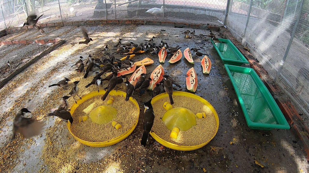 bữa ăn hoa quả cho đàn chim chào mào hơn 300 con