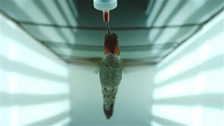 Hummingbirds Avoid High-Speed Collision With Amazing Vision