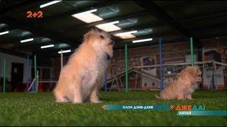 У Китаї клонували тамтешню знаменитість – собаку Гуоджі