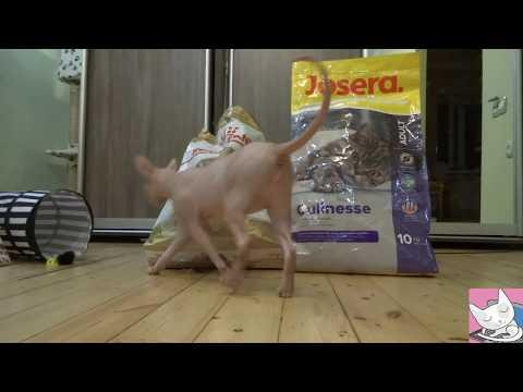 Royal Canin VS Josera: the eternal problem of choice of my funny Sphynx cat Casper
