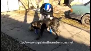 Serbian defense dog Ares 7 months old Kruna x Neo