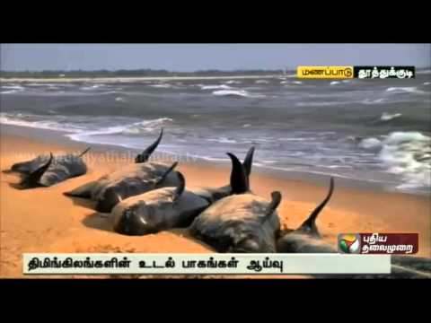 More than 10 whales dead in Thiruchendur coast today