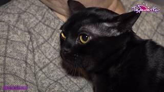 Бомбейский кот Франк ищет хозяина