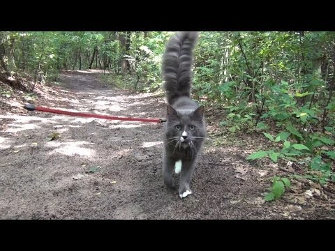 Sunday walk with Benek Norwegian Forest Cat on a leash / Kot na smyczy