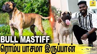 AC போட சொல்லி வீட்டுலேயே இருப்பான் : ALL About Dogs Episode 12 | Bullmastiff