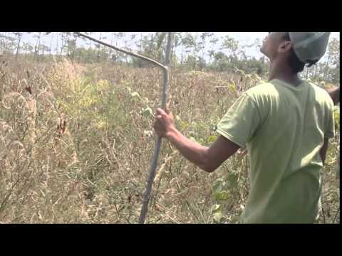 Mikat Burung Liar Dengan Pulut dan Mp3 Suara Burung