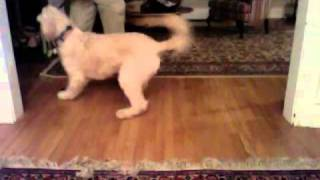 Cute Dog Has No Traction On Wood Floor